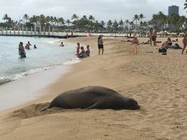 Endangered Monk seal sleeping on Waikiki Beach. Seal don't care!