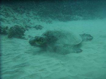 Green sea turtle sleeping at a reef near Waikiki